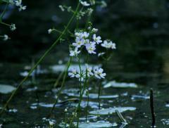 Water Violet, le proprietà del fiore che cresce nell'acqua – In a Bottle