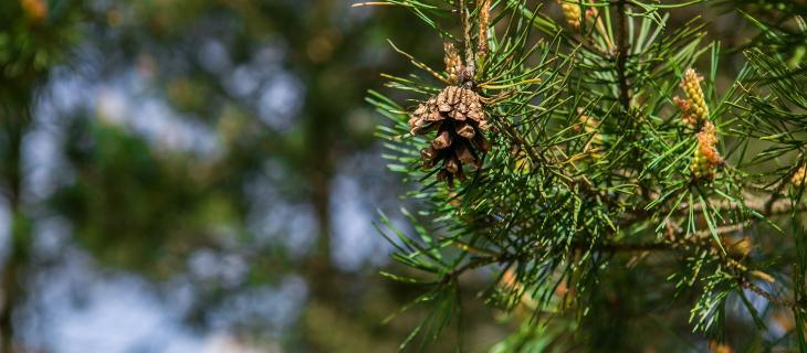 Arriva la plastica ecologica creata con aghi di pino